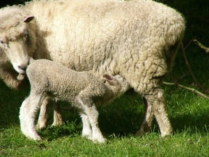 Lambing Time - Wins and Losses