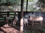 Romeo (on the right) with his ewes.